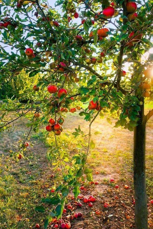 Der Apfel ist schon seit alters her eine magische Frucht.